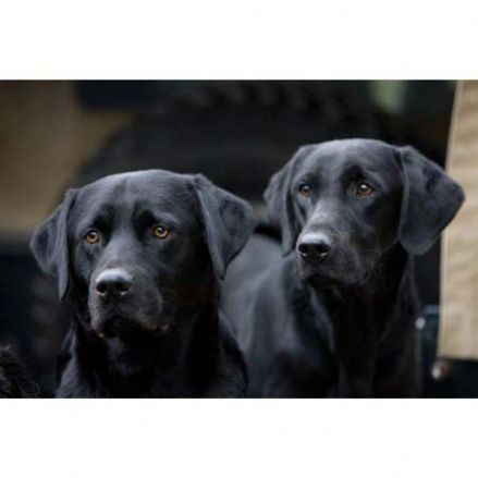 CSP Greeting Cards 'Black Labradors'